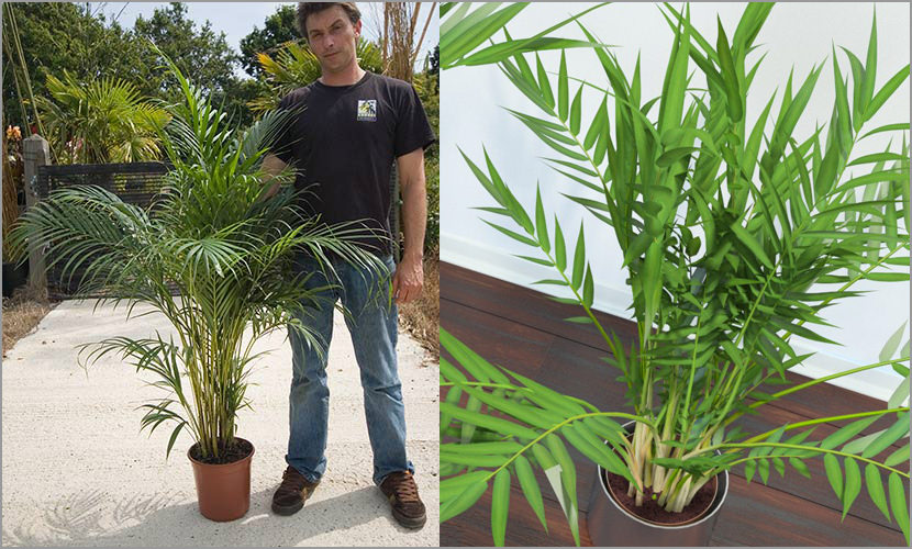 Dypsis lutescens Plants That Purify Indoor Air Quality (Smokers)