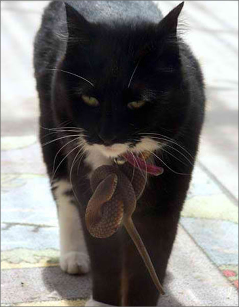 snake cat picture copperhead