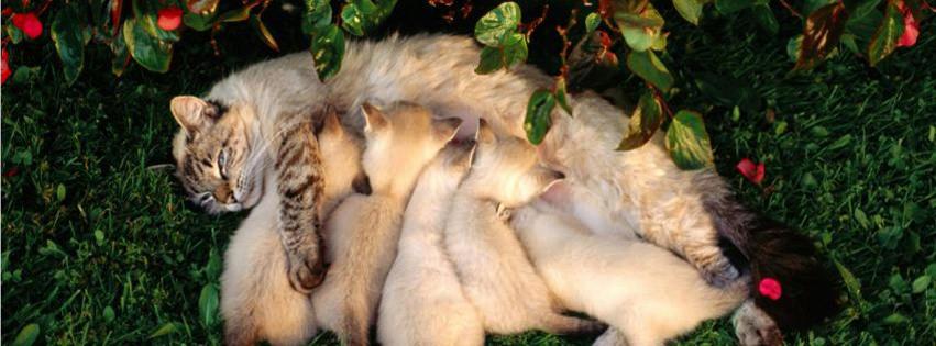 mother cat kittens drinking milk facebook timeline cover